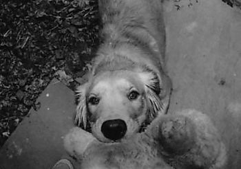 Robin_schwartz_golden_retriever