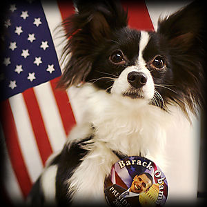 Dogs_for_obama_papillon