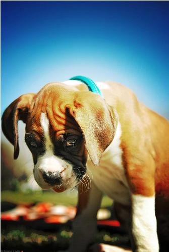 Boxer_puppy