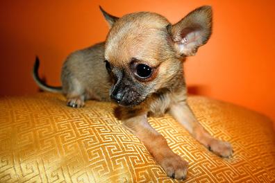 Chihuahua_puppy