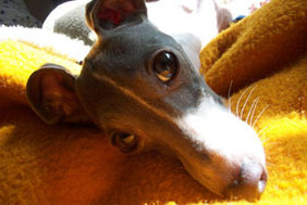 Italian_greyhound_nap