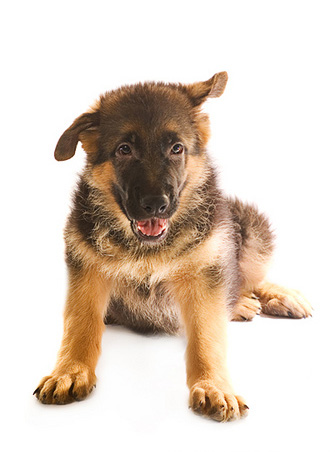 German_shepherd_pupppy_2