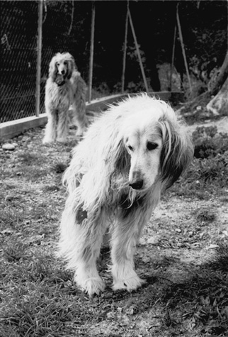 Picasso_afghan_hound_4
