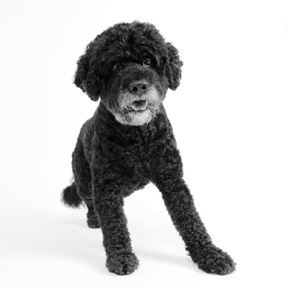 Portuguese_Water_Dog_photo2