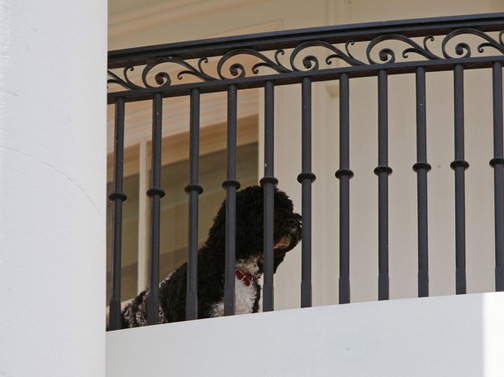 Bo_obama_white_house_balcony