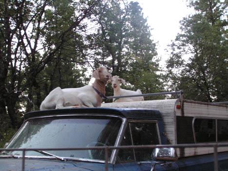 Goats_truck