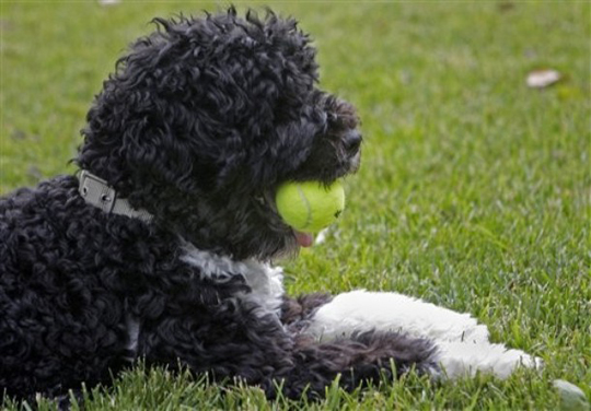 Bo_obama_tennis_ball
