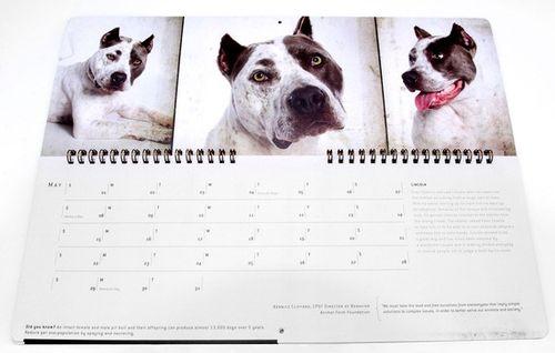 Pit_Bull_calendar