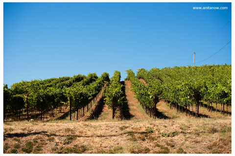 Mutt_lynch_vineyard