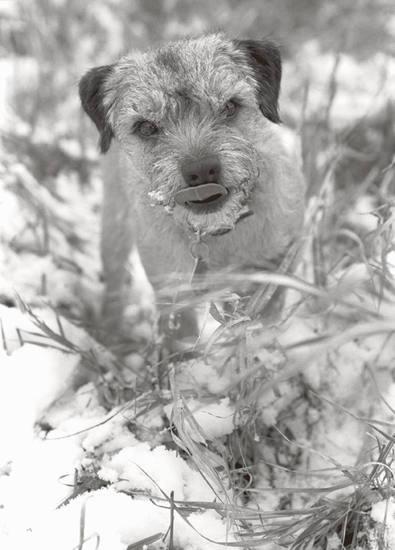 Mary_ludington_border_terrier