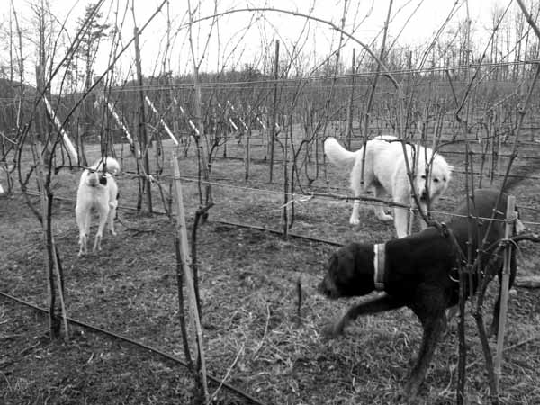 Black_and_white_photo_of_dogs_in_vineyard