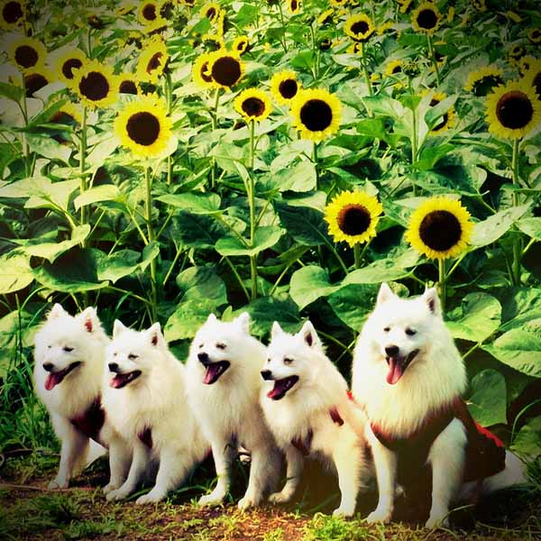 Sunflowers-and-dogs-topaz
