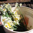 Narcissus-bouquet-2