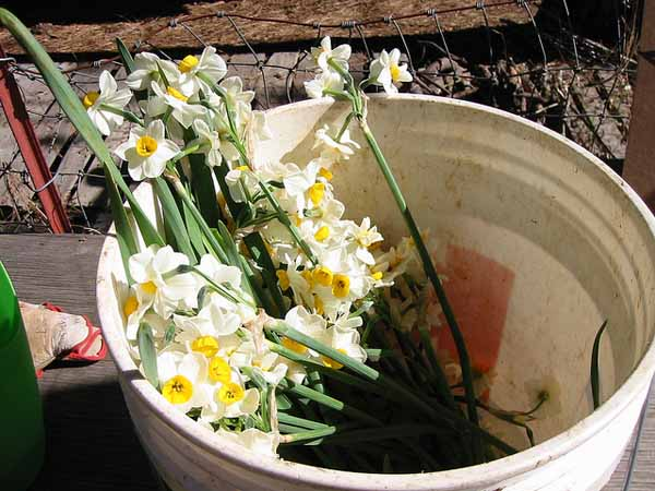 Narcissus-bouquet-2