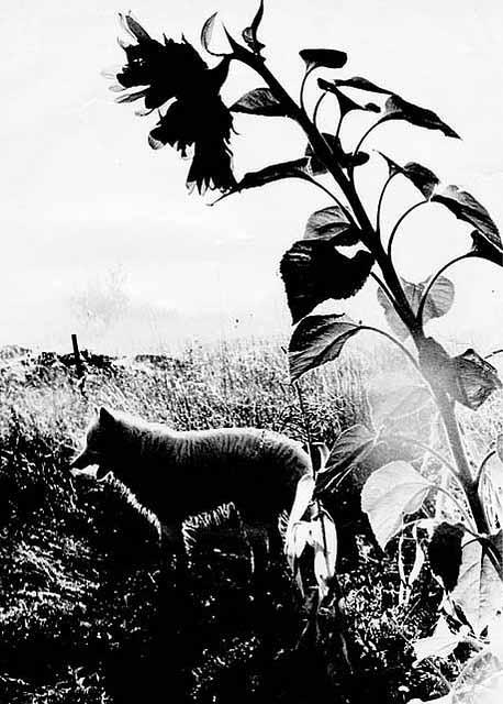 Sunflower-and-dog-gary-shontah-bertram