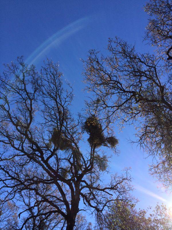 Penn-Valley-Firewood-Mistletoe-2