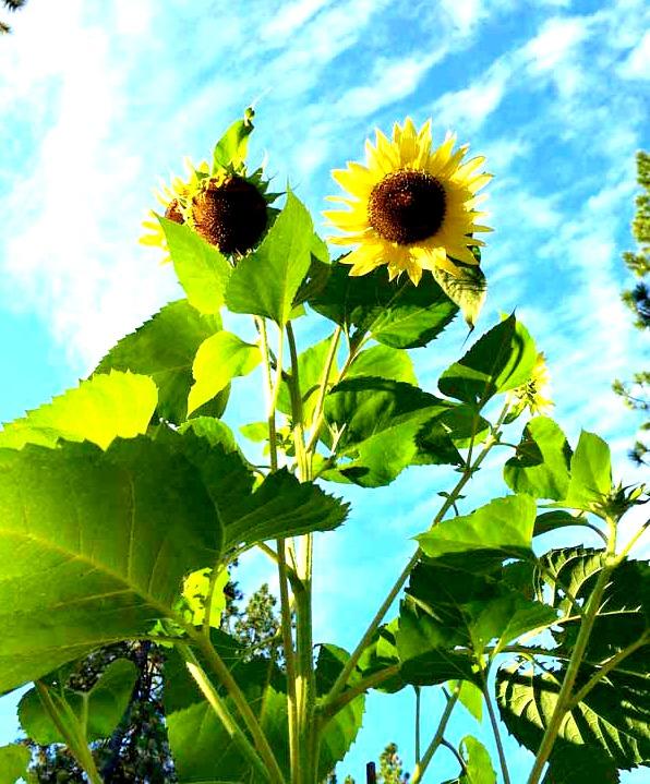 Sunflower-garden-low-res-enhanced