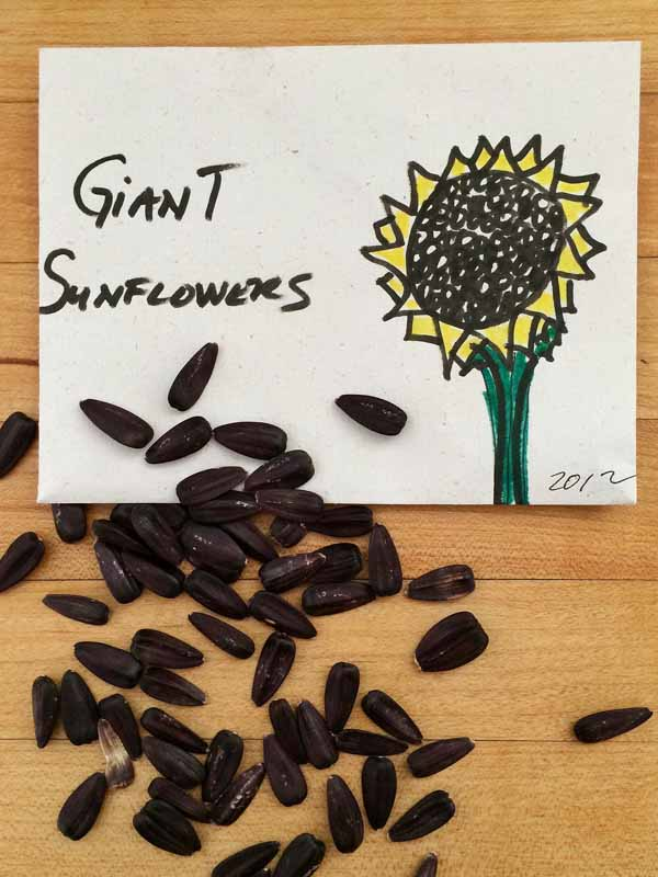 Sunflower-seeds-low-res
