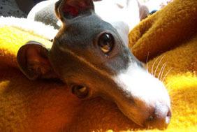 Italian_greyhound_nap