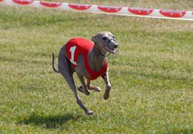 Italian_greyhound_race